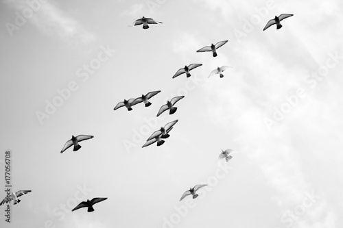 Black and white photo of pigeons soaring in the sky