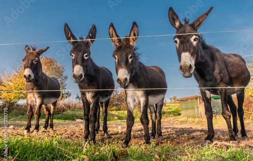 Carta da parati A pretty donkey family father mother and two children living on the pasture in the sun in autumn near Marburg in Germany