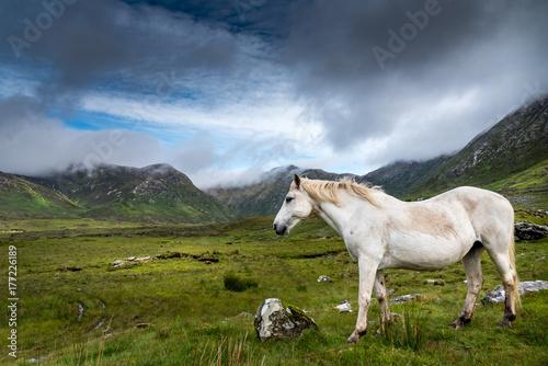 Stampa su Tela A Connemara Pony, loose in the Twelve Bens area eats grass in a meadow