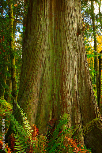 a picture of an Pacific Northwest forest and Yellow cedar tree