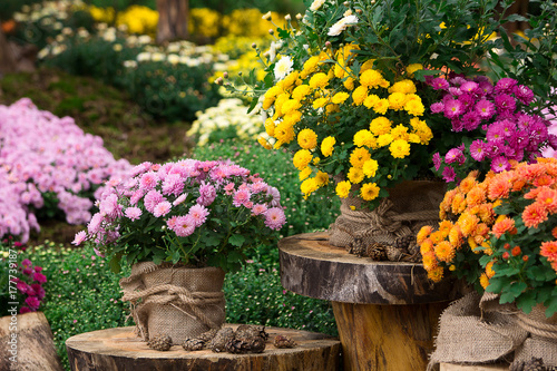 Photographie bouquet of beautiful chrysanthemum flowers outdoors