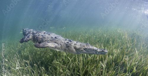 Fotografia Cuban crocodile swimming along the sea grass in the mangrove areas of Gardens Of the Queens Marine Reserve, Cuba