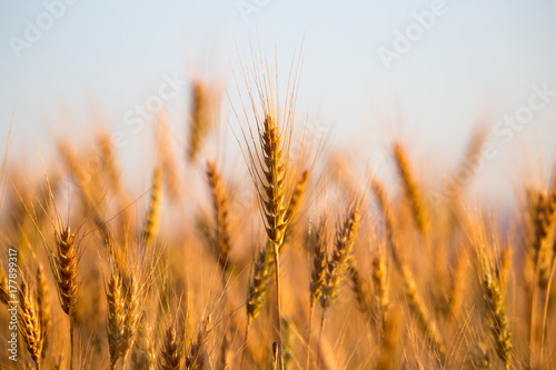 yellow ears of wheat at sunset in nature