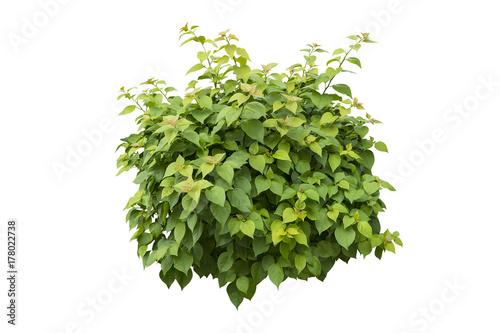 green bush isolated on white background. Fototapeta