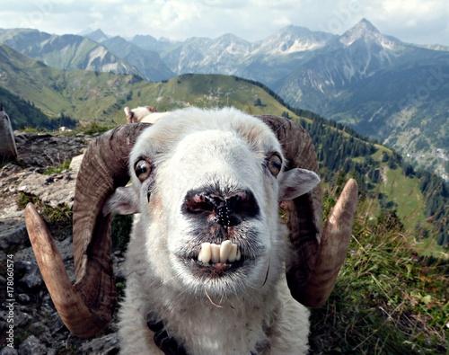 Fototapeta crazy goat