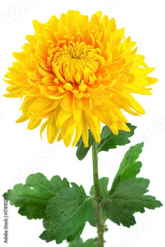 Canvas Print Yellow chrysanthemum flower head