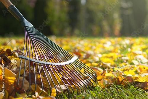 Fotografia Raking fallen leaves in the garden , detail of rake in autumn season
