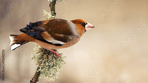 Canvastavla hawfinch (Coccothraustes coccothraustes) sitting on a beautiful stick with moss
