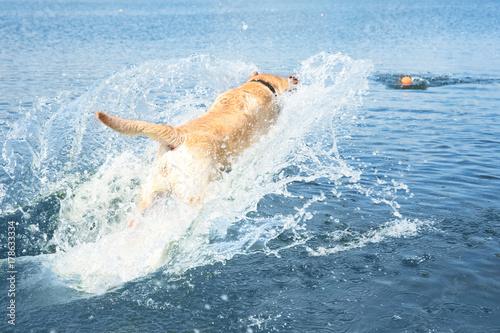 Fotografia, Obraz Playful Labrador Retriever jumping in water to fetch ball