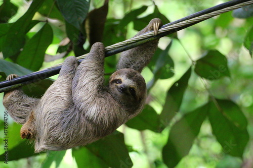 Canvas Print Young Brown-throated Sloth (Bradypus Variegatus) hanging on a cable, Costa Rica