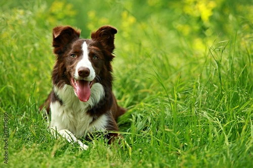 Fototapeta Happy brown and white border collie dog with her tongue out lying down in green