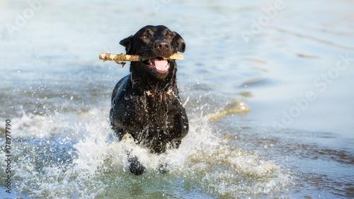 Obraz na plátne Black Labrador Retriever is swimming in the water