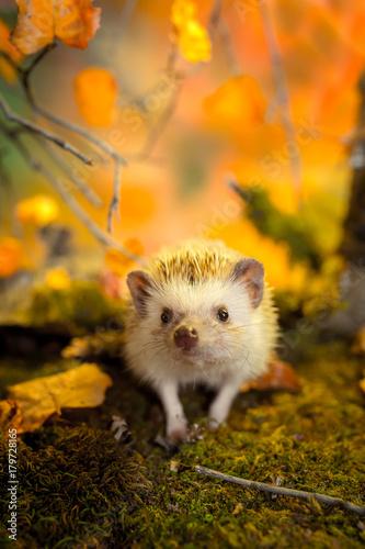 Obraz na plátne African pygmy hedgehog on moss