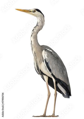 Grey Heron standing, Ardea Cinerea, 5 years old, isolated on whi