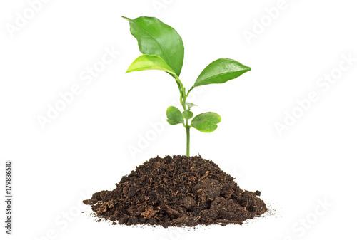 Obraz na płótnie Young plant of pomelo in soil humus on a white background