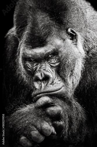 Western Lowland Gorilla BW II Fototapeta