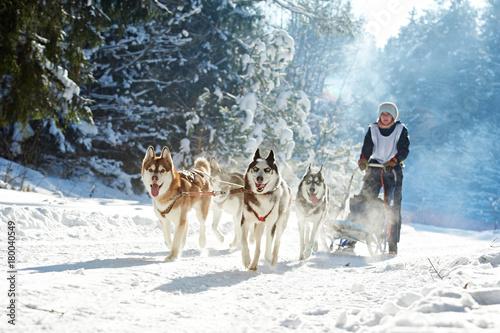 Canvas Print husky sled dog racing