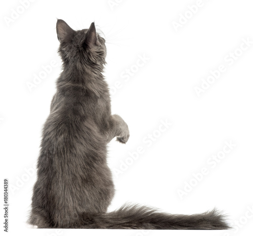 Rear view of a Maine Coon kitten on hind legs, pawing up, 4 months old, isolated Fototapet