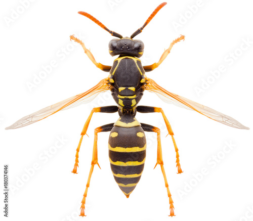 Fényképezés Yellow striped Paper wasp Polistes nimpha isolated on white background, dorsal v