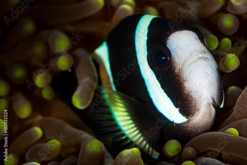 Obraz na plátne clark anemonefish clownfish