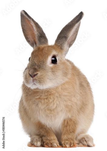 Fototapeta premium Królik Bunny siedzi na białym tle