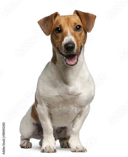 Fotografie, Obraz Jack Russell Terrier (12 months old)