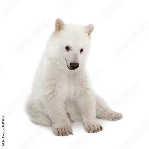 Polar bear cub, Ursus maritimus, 6 months old, sitting against white background