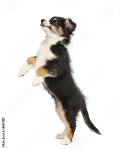 Fotografie, Tablou Side view of an Australian Shepherd puppy, 2 months old, standing on hind legs a