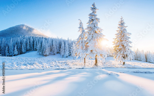 Colorful winter panorama in the Carpathian mountains. Fir trees covered fresh snow at frosty morning glowing first sunlight