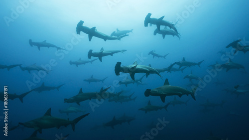 Photo Very large school of scalloped hammerhead sharks in Galapagos, world heritage si