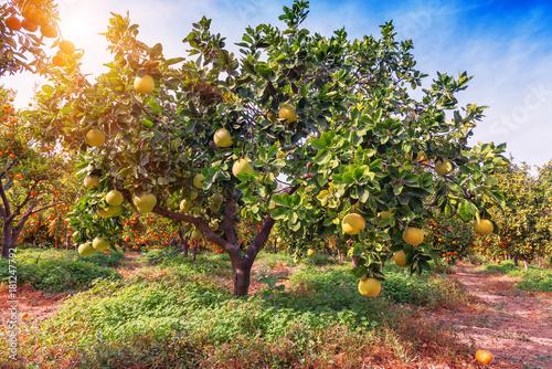 ripe pomelo fruits on the tree
