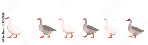 Fotografie, Tablou Flock of domestic geese isolated on white background, geese covey follows the le