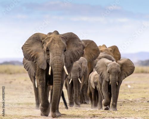 Obraz na plátně Elephant herd walking directly toward camera