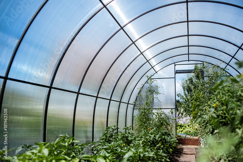 Canvastavla A greenhouse with bushes of tomatoes and peppers, a view from the inside