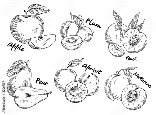 Photo Sketch of apple and plum, pear and apricot