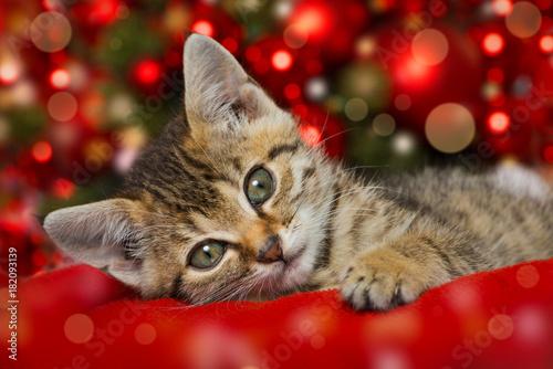 Fototapeta premium Boże Narodzenie Kotek