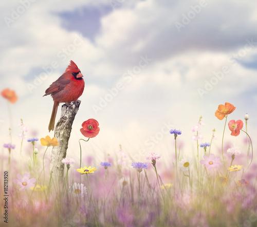 Fényképezés Cardinal bird in a flower field