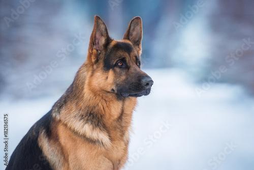 Canvas Print Portrait of german shepherd dog in winter