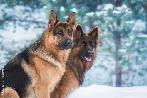 Canvas Print Portrait of two german shepherd dogs in winter