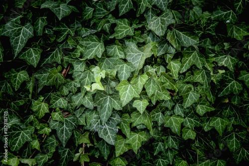Fotografia Ivy Texture, green leaves background, leaf pattern