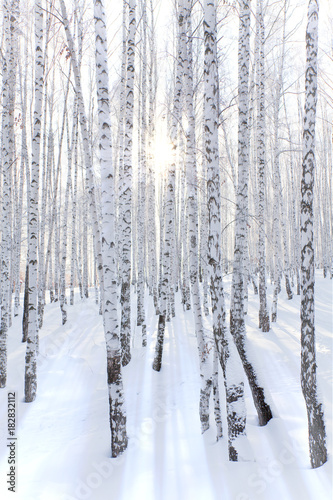 Obraz na płótnie Brzozy w zimie