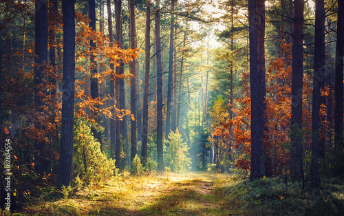 Autumn forest nature. Vivid morning in colorful forest with sun rays through branches of trees. Scenery of nature with sunlight.