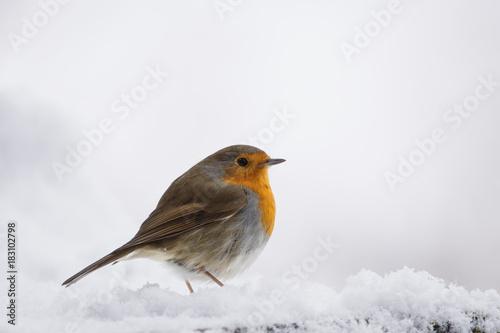 Fotografie, Obraz rouge-gorge sur la neige