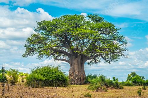 Stampa su Tela Baobab tree, Chobe National Park, Botswana
