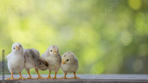 Slika na platnu 4 yellow baby chicks on wood floor behind natural blurred background