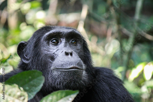 Valokuvatapetti Common Chimpanzee - Scientific name- Pan troglodytes schweinfurtii portrait at K