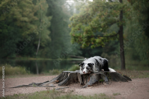 Fotomural Dog marble border collie outdoors