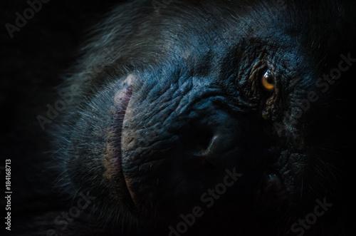 Fototapeta Dark closeup portrait of chimp or chimpanzee with wise look