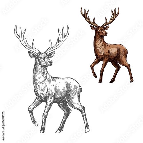 Fototapeta premium Jeleń, renifer lub łoś szkic dzikiego ssaka