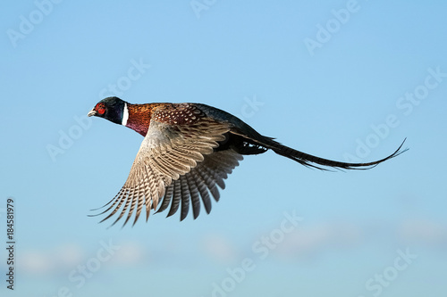 Photo Rooster - Flight - Pheasant